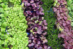 edible-microgreens50