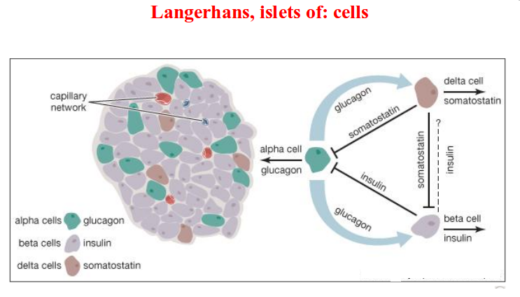 langerhans_islets_of_cells